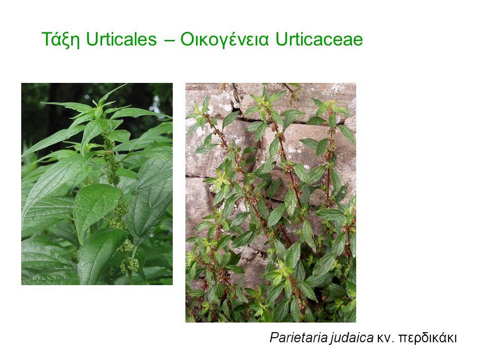 Τάξη Urticales – Οικογένεια Urticaceae
