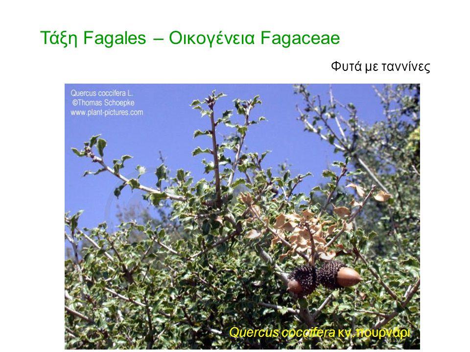 Τάξη Fagales – Οικογένεια Fagaceae