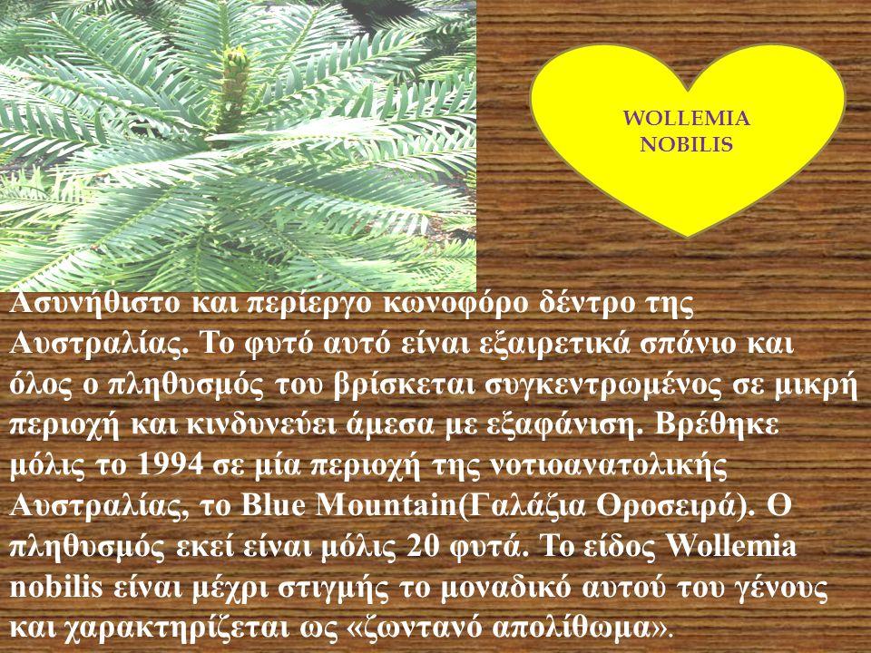 WOLLEMIA NOBILIS.