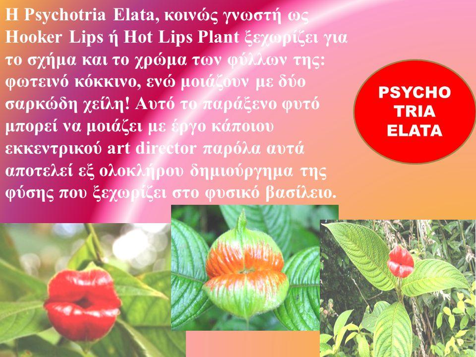 H Psychotria Elata, κοινώς γνωστή ως Hooker Lips ή Hot Lips Plant ξεχωρίζει για το σχήμα και το χρώμα των φύλλων της: φωτεινό κόκκινο, ενώ μοιάζουν με δύο σαρκώδη χείλη! Αυτό το παράξενο φυτό μπορεί να μοιάζει με έργο κάποιου εκκεντρικού art director παρόλα αυτά αποτελεί εξ ολοκλήρου δημιούργημα της φύσης που ξεχωρίζει στο φυσικό βασίλειο.
