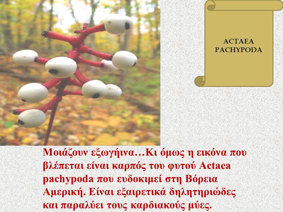 ACTAEA PACHYPODA.