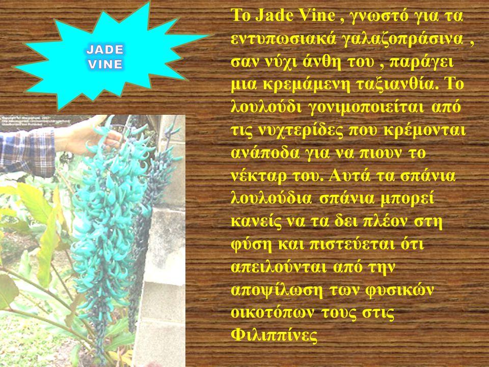 Το Jade Vine , γνωστό για τα εντυπωσιακά γαλαζοπράσινα , σαν νύχι άνθη του , παράγει μια κρεμάμενη ταξιανθία. Το λουλούδι γονιμοποιείται από τις νυχτερίδες που κρέμονται ανάποδα για να πιουν το νέκταρ του. Αυτά τα σπάνια λουλούδια σπάνια μπορεί κανείς να τα δει πλέον στη φύση και πιστεύεται ότι απειλούνται από την αποψίλωση των φυσικών οικοτόπων τους στις Φιλιππίνες