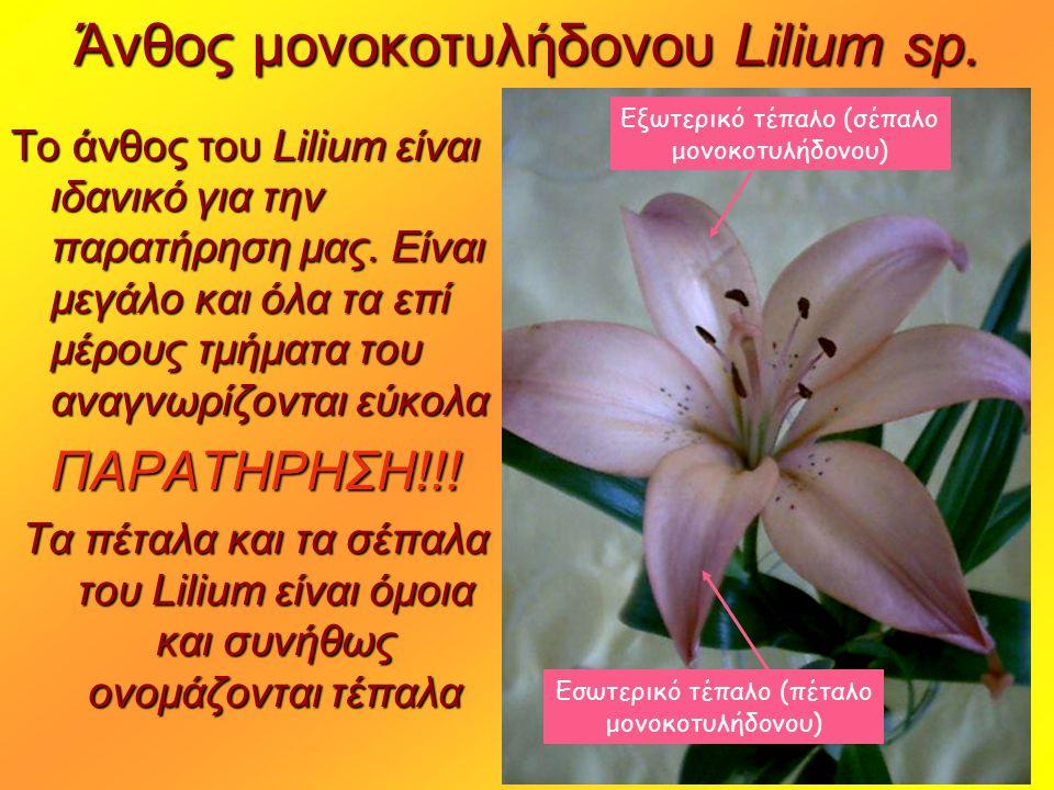 Άνθος μονοκοτυλήδονου Lilium sp.