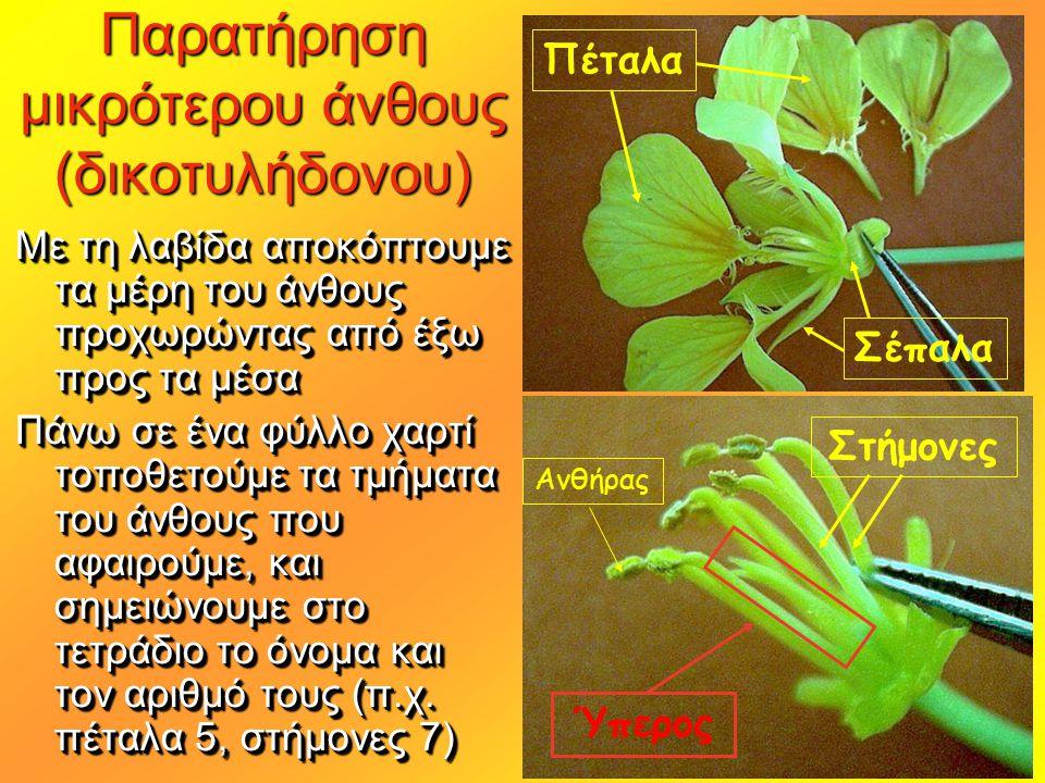 Παρατήρηση μικρότερου άνθους (δικοτυλήδονου)