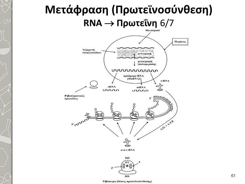 Μετάφραση (Πρωτεϊνοσύνθεση) RNA  Πρωτεΐνη 7/7