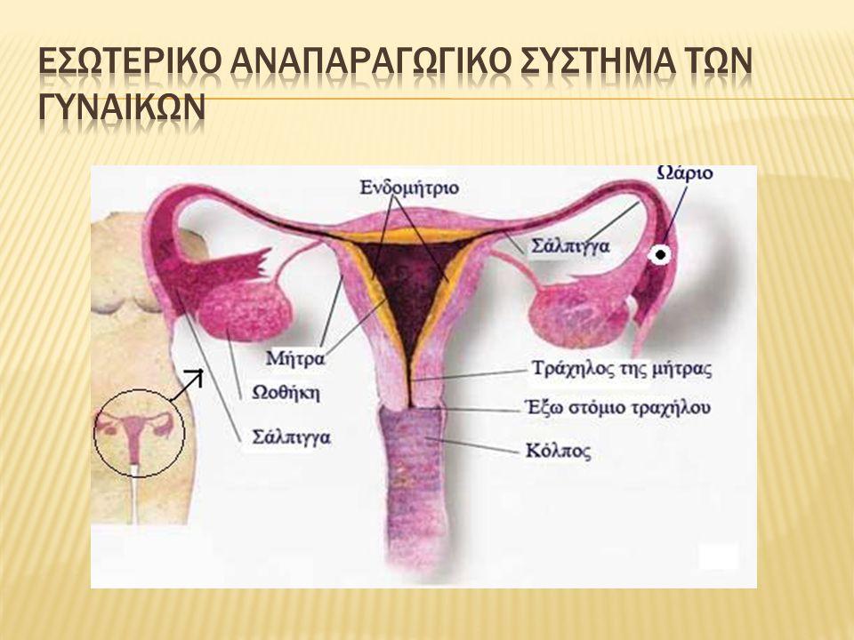 ΕσωτερικΟ αναπαραγωγικΟ σΥστημα των γυναικΩν