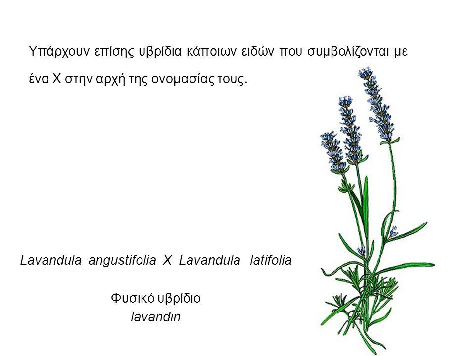 Lavandula angustifolia X Lavandula latifolia