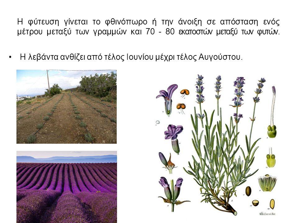 Η φύτευση γίνεται το φθινόπωρο ή την άνοιξη σε απόσταση ενός μέτρου μεταξύ των γραμμών και 70 - 80 εκατοστών μεταξύ των φυτών.