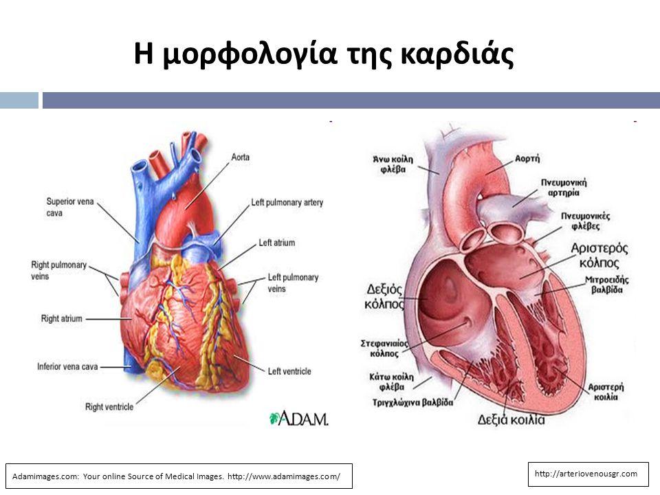 Η μορφολογία της καρδιάς