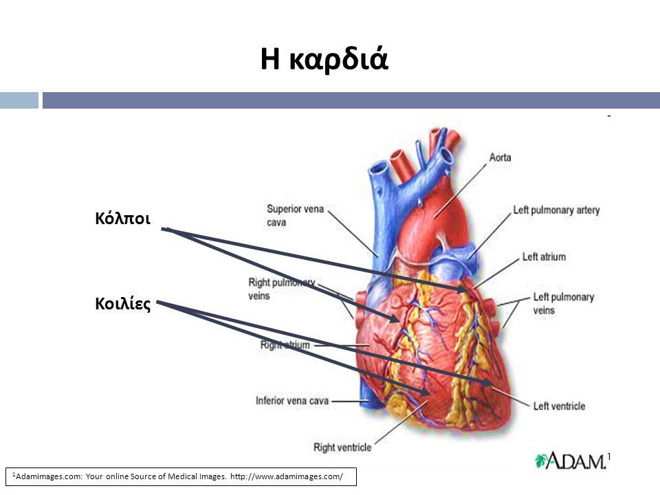 Η καρδιά Κόλποι Κοιλίες 1