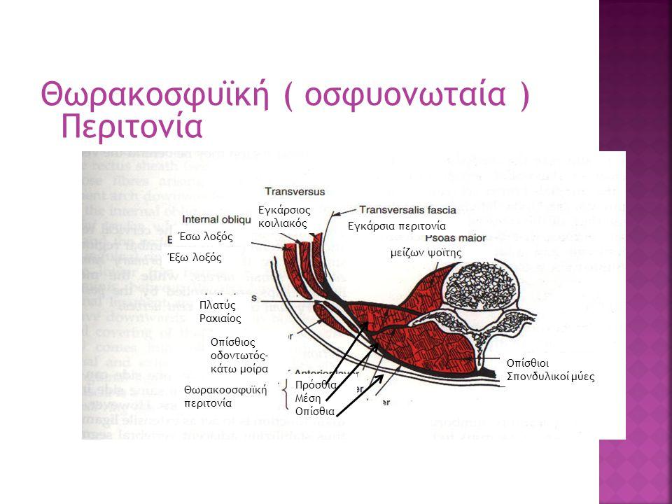 Θωρακοσφυϊκή ( οσφυονωταία ) Περιτονία