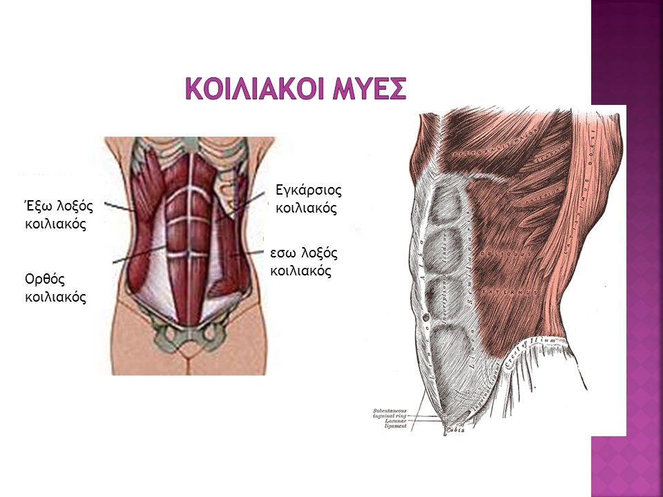 Κοιλιακοι μυες Εγκάρσιος κοιλιακός Έξω λοξός κοιλιακός