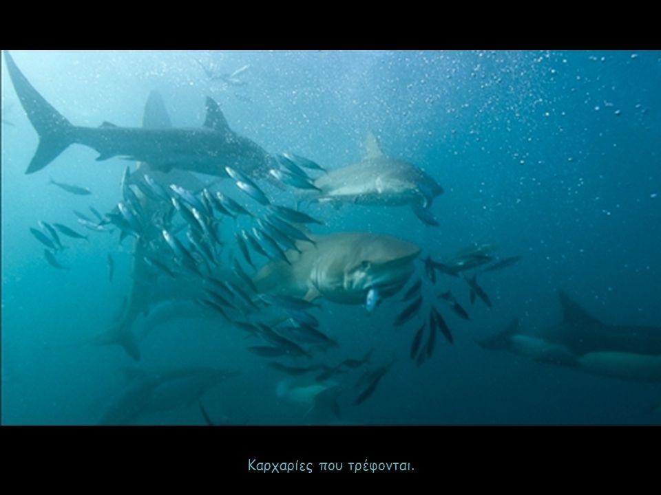 Καρχαρίες που τρέφονται.