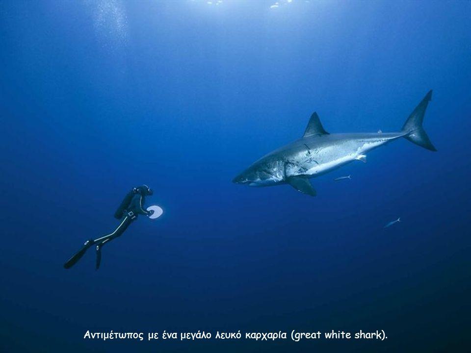 Αντιμέτωπος με ένα μεγάλο λευκό καρχαρία (great white shark).