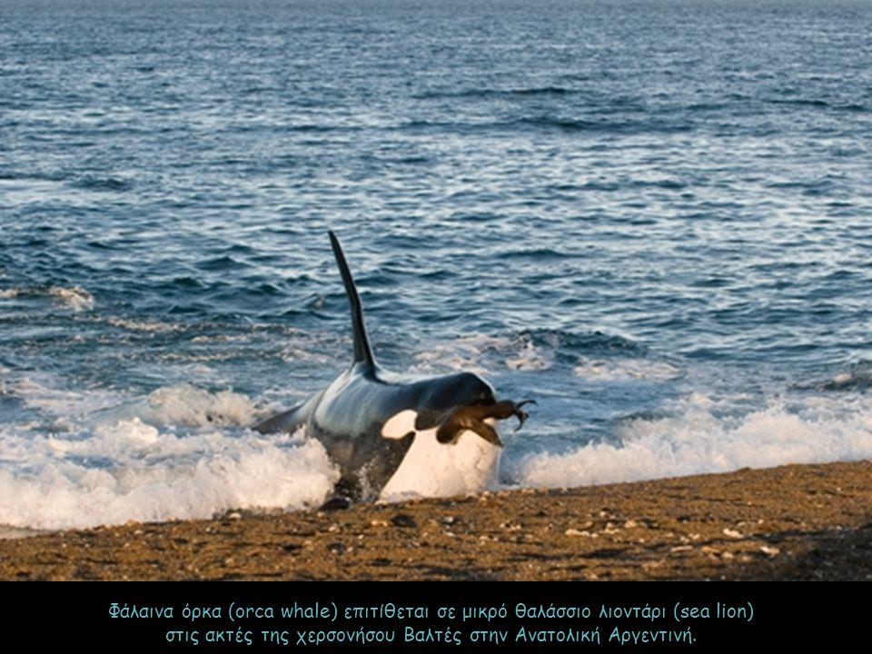 Φάλαινα όρκα (orca whale) επιτίθεται σε μικρό θαλάσσιο λιοντάρι (sea lion) στις ακτές της χερσονήσου Βαλτές στην Ανατολική Αργεντινή.