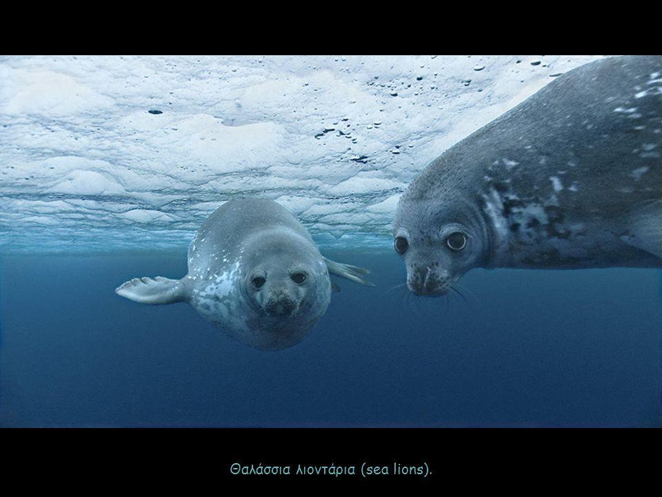 Θαλάσσια λιοντάρια (sea lions).