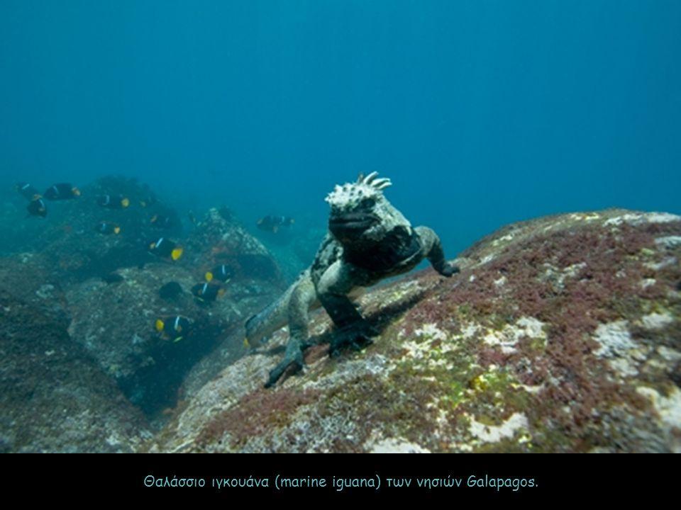 Θαλάσσιο ιγκουάνα (marine iguana) των νησιών Galapagos.