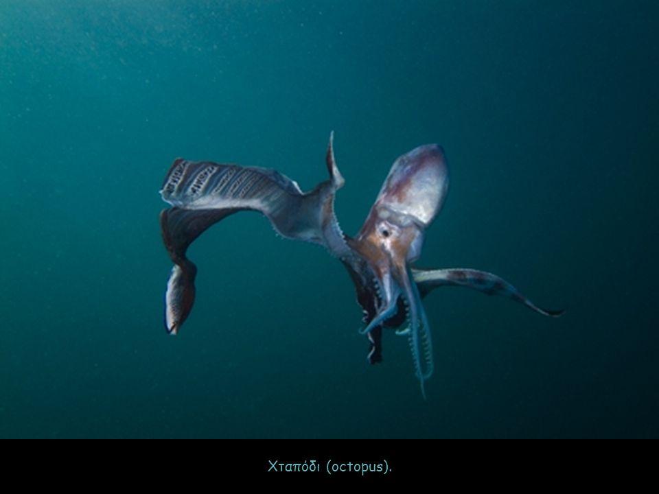 Χταπόδι (octopus).