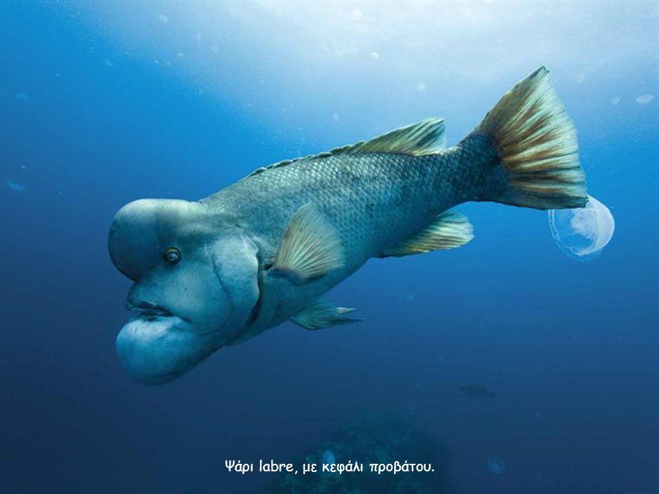 Ψάρι labre, με κεφάλι προβάτου.