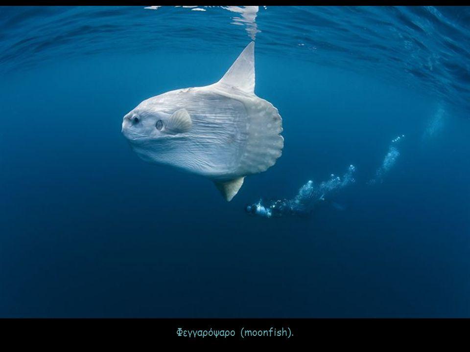 Φεγγαρόψαρο (moonfish).
