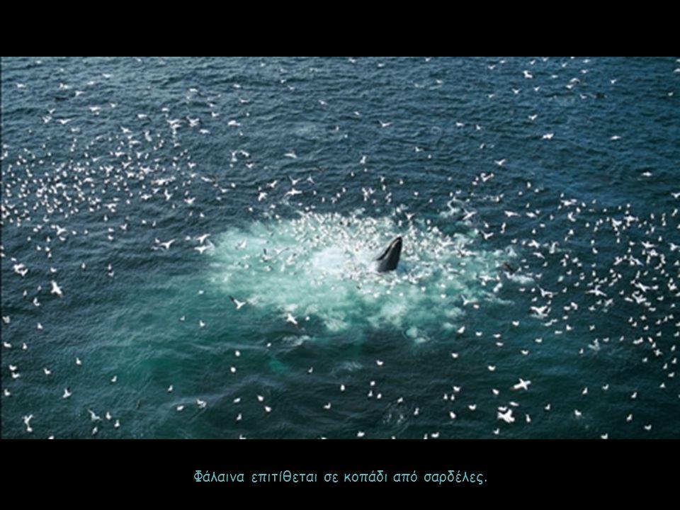 Φάλαινα επιτίθεται σε κοπάδι από σαρδέλες.