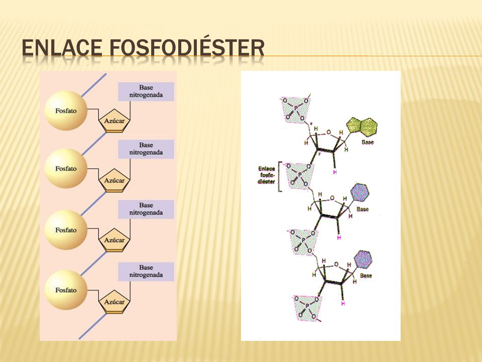 Enlace fosfodiéster