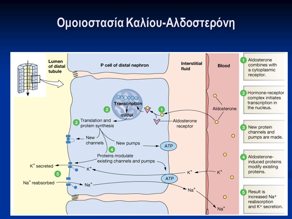 Ομοιοστασία Καλίου-Αλδοστερόνη