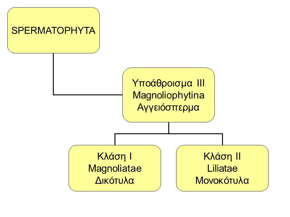 Yποάθροισμα III Magnoliophytina Αγγειόσπερμα Κλάση Ι Magnoliatae