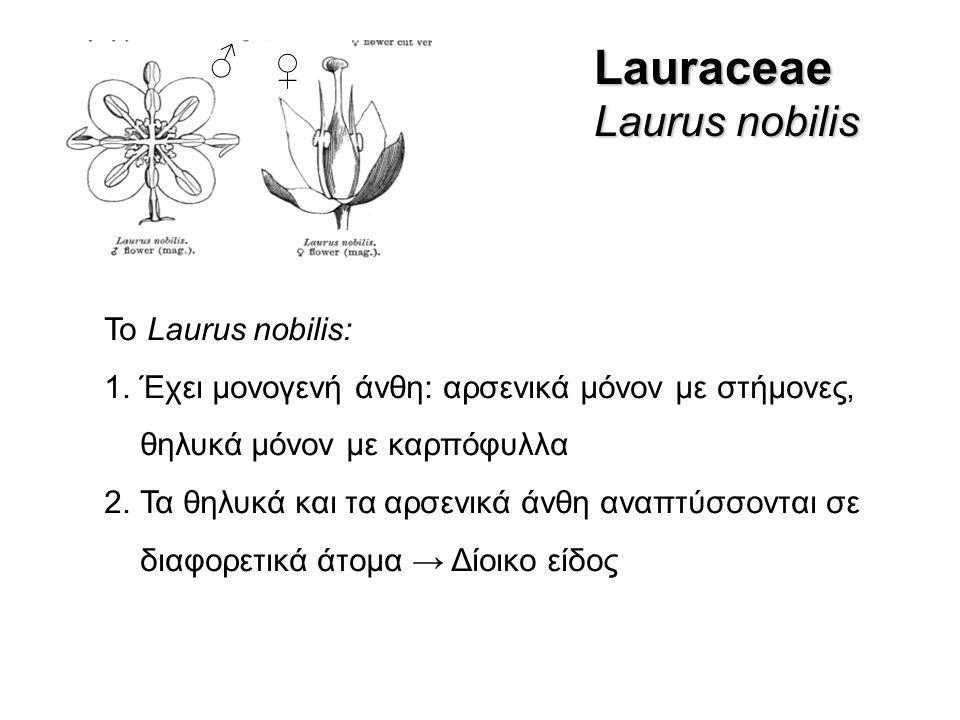 Lauraceae Laurus nobilis ♂ ♀ Το Laurus nobilis: