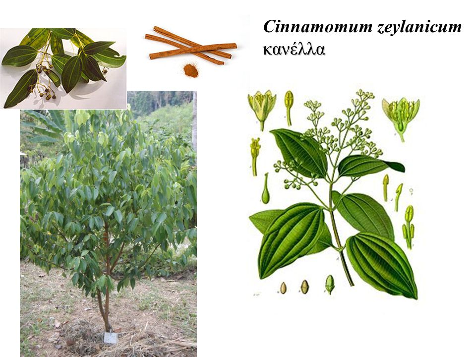 Cinnamomum zeylanicum κανέλλα