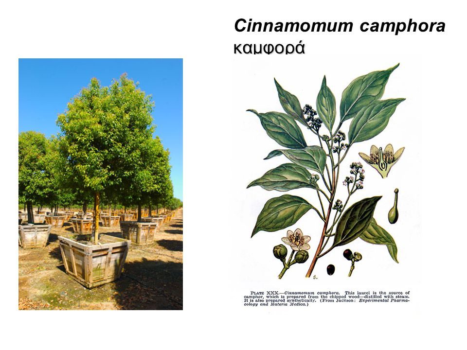 Cinnamomum camphora καμφορά