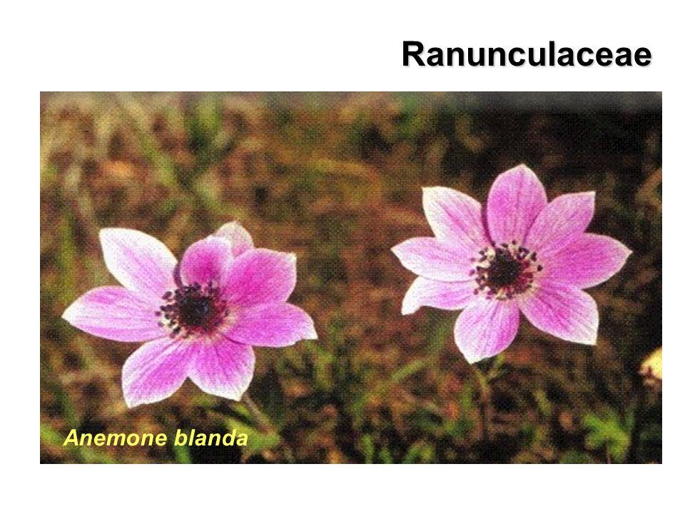 Ranunculaceae Anemone blanda Anemone pavonina