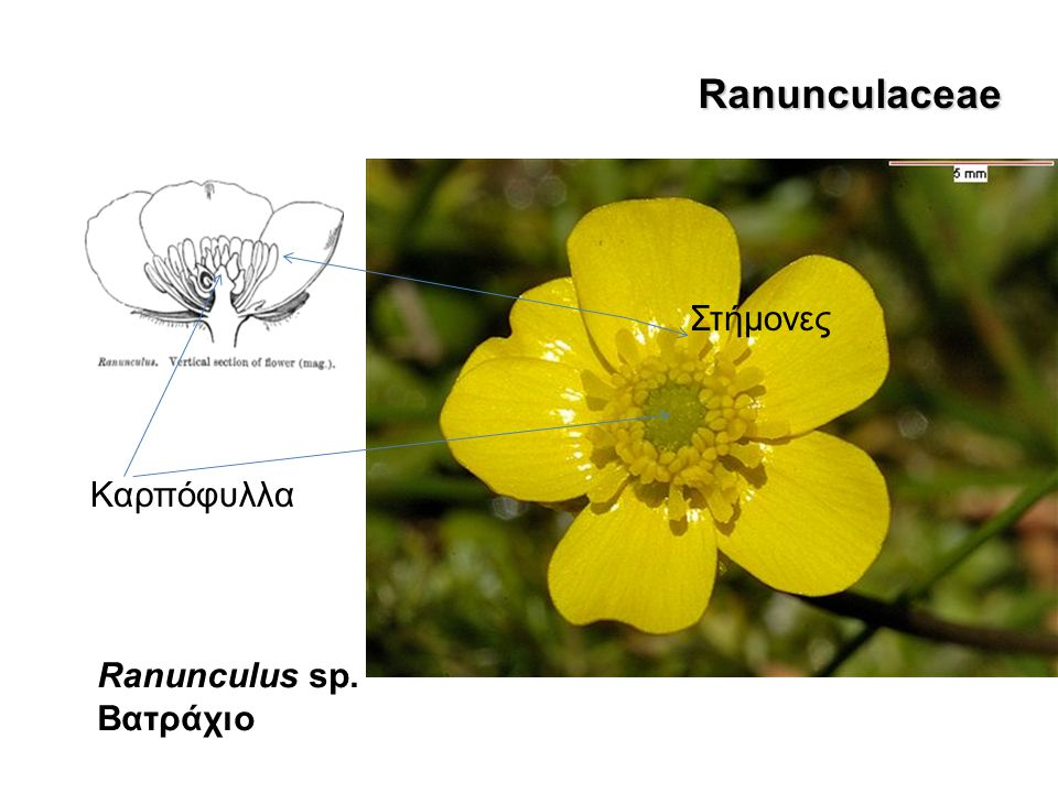Anemone pavonina Ranunculaceae Στήμονες Καρπόφυλλα Ranunculus sp.