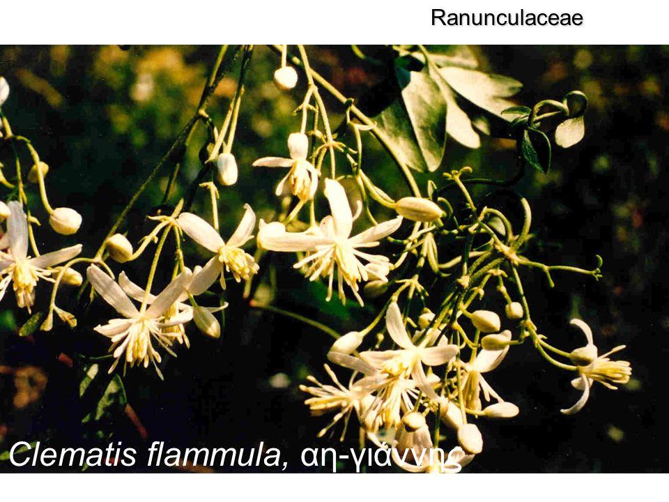 Clematis flammula, αη-γιάννης