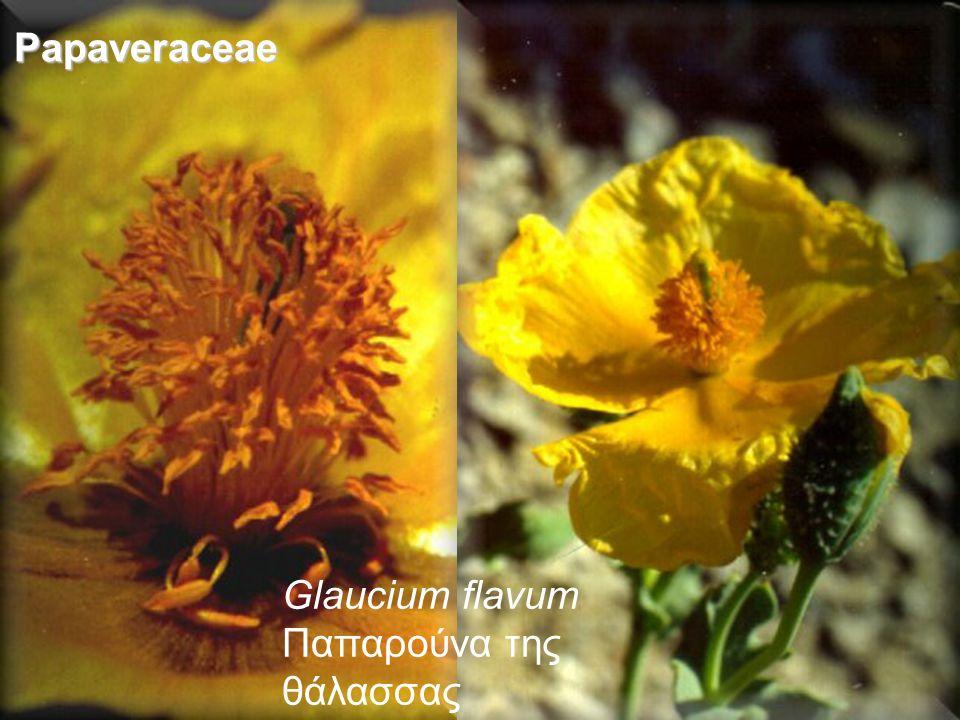 Papaveraceae Glaucium flavum Παπαρούνα της θάλασσας
