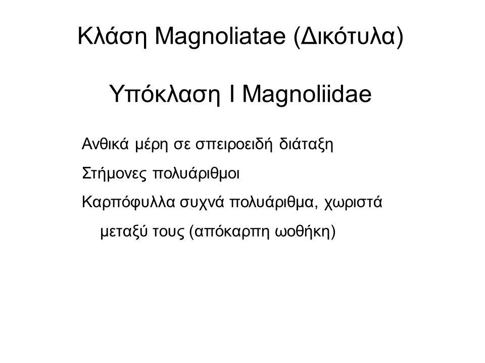 Κλάση Magnoliatae (Δικότυλα) Υπόκλαση Ι Magnoliidae