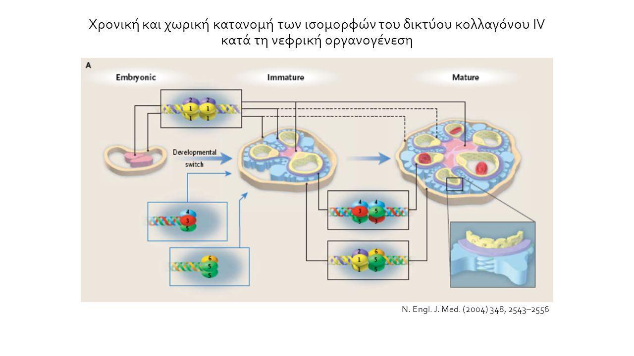 Χρονική και χωρική κατανομή των ισομορφών του δικτύου κολλαγόνου IV κατά τη νεφρική οργανογένεση