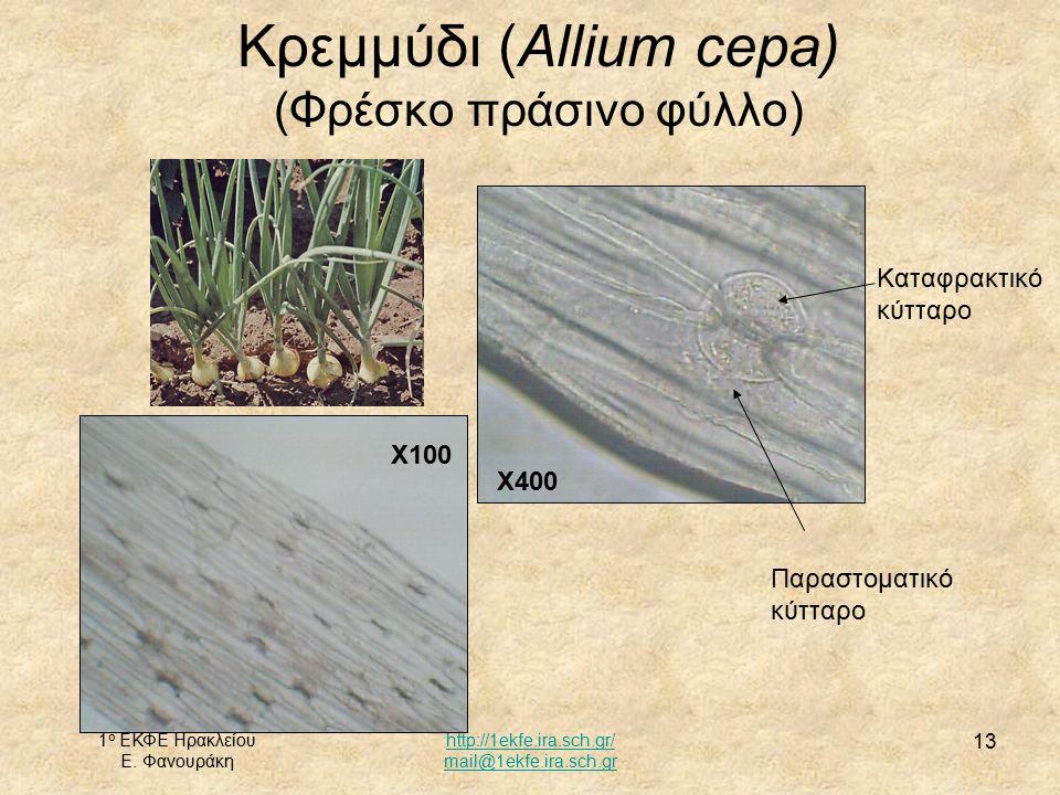 Κρεμμύδι (Allium cepa)