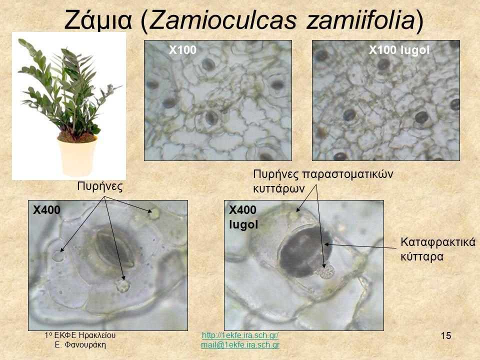 Ζάμια (Zamioculcas zamiifolia)