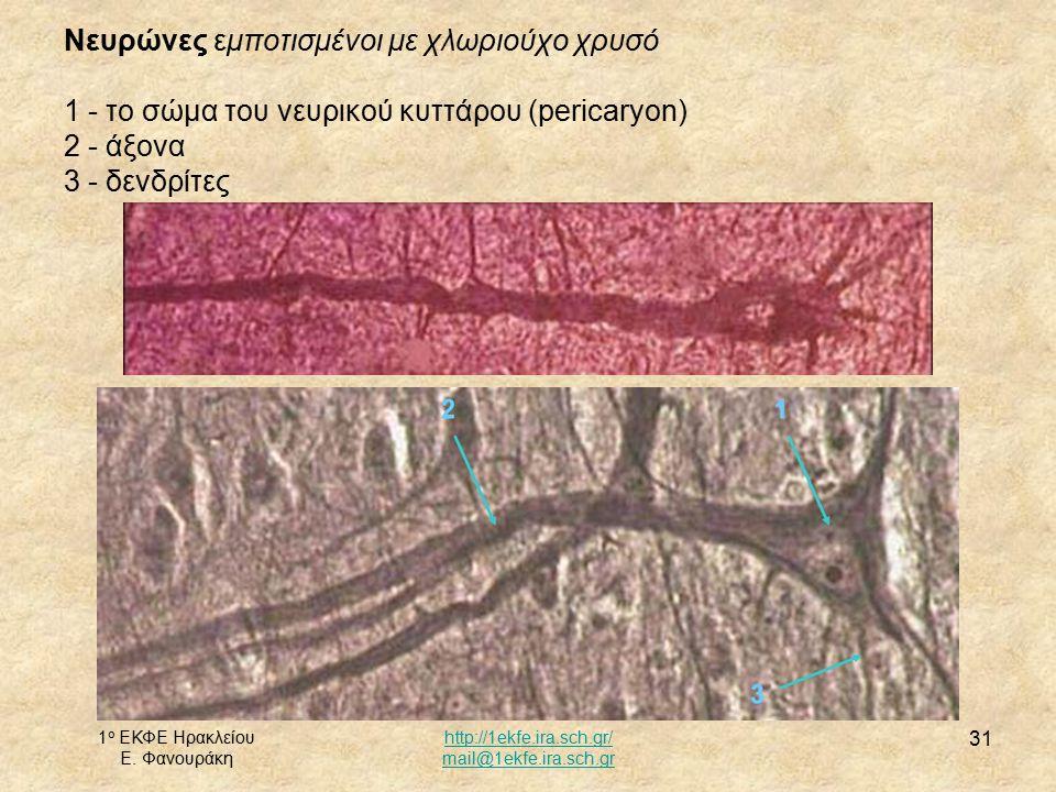 Νευρώνες εμποτισμένοι με χλωριούχο χρυσό 1 - το σώμα του νευρικού κυττάρου (pericaryon) 2 - άξονα 3 - δενδρίτες