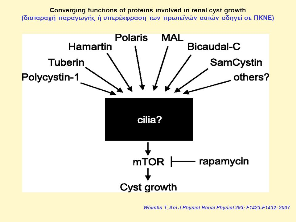 Converging functions of proteins involved in renal cyst growth