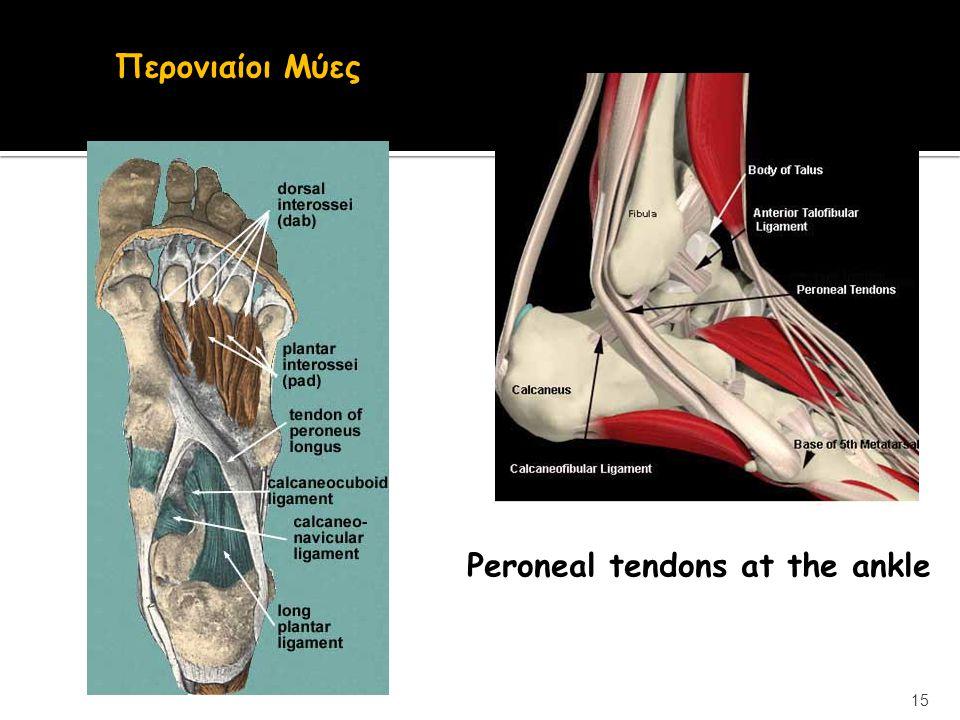 Περονιαίοι Μύες Peroneal tendons at the ankle