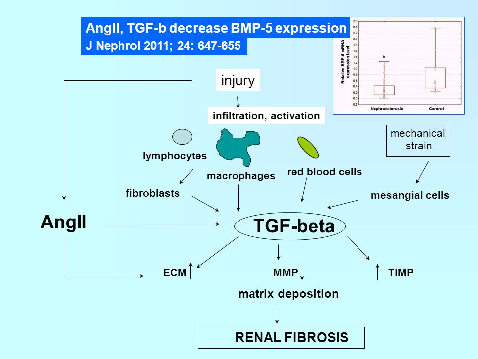 AngII TGF-beta injury AngII, TGF-b decrease BMP-5 expression