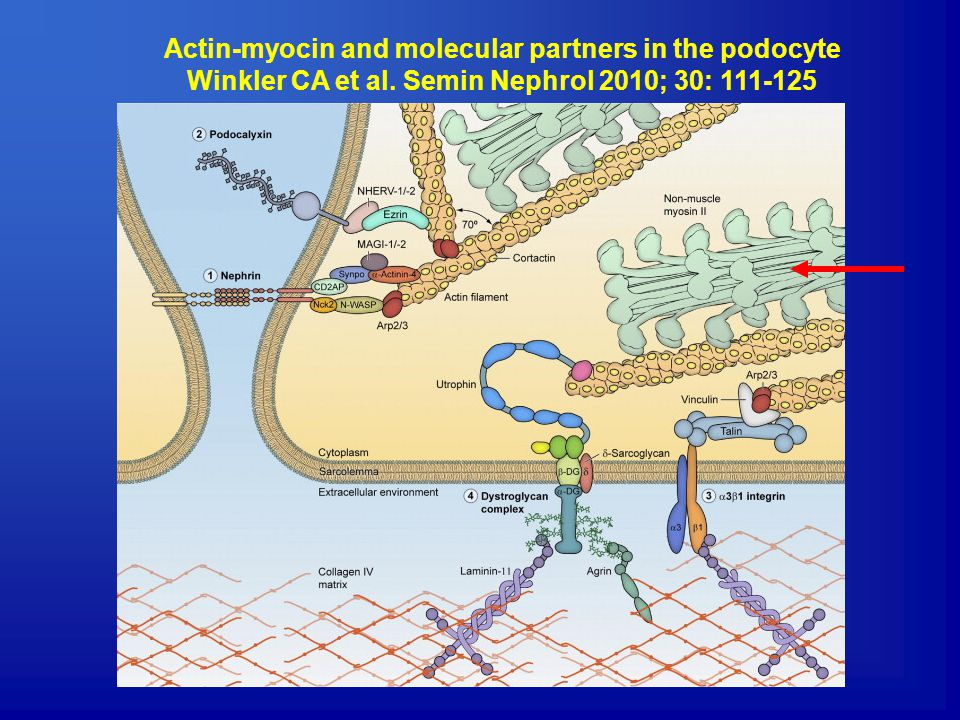 Actin-myocin and molecular partners in the podocyte