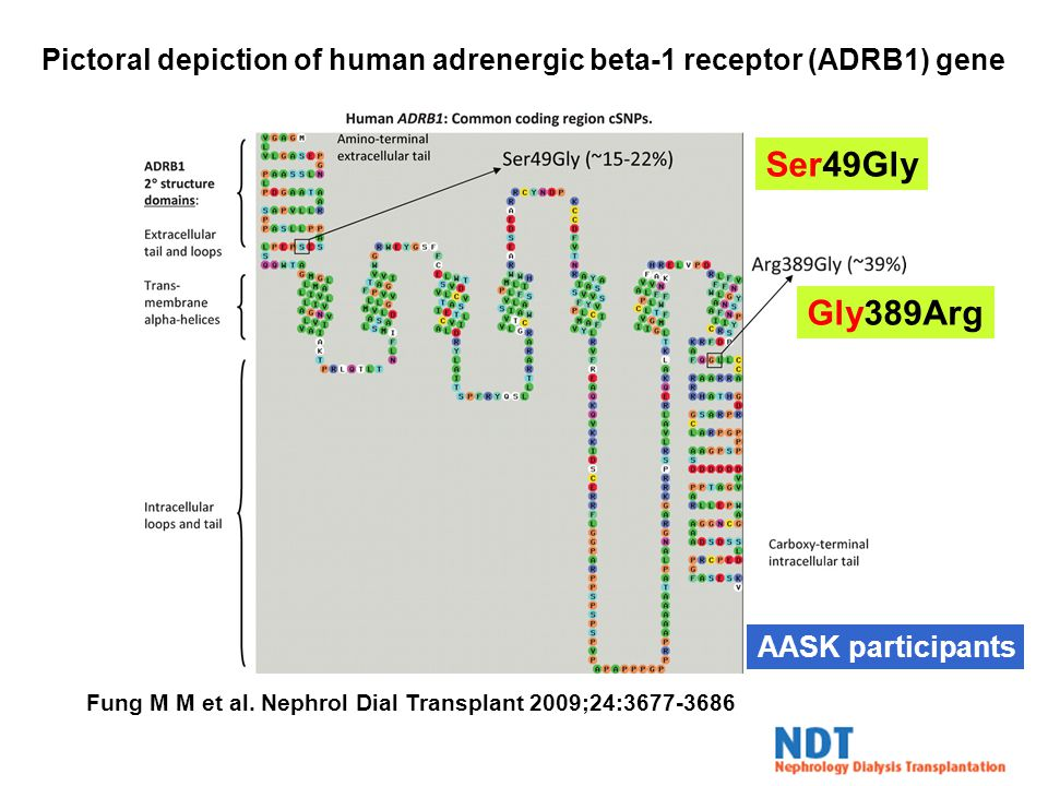 Pictoral depiction of human adrenergic beta-1 receptor (ADRB1) gene