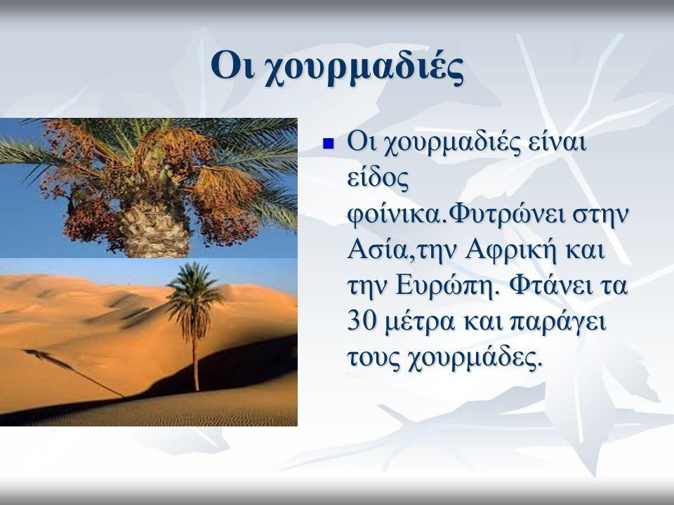 Οι χουρμαδιές Οι χουρμαδιές είναι είδος φοίνικα.Φυτρώνει στην Ασία,την Αφρική και την Ευρώπη.