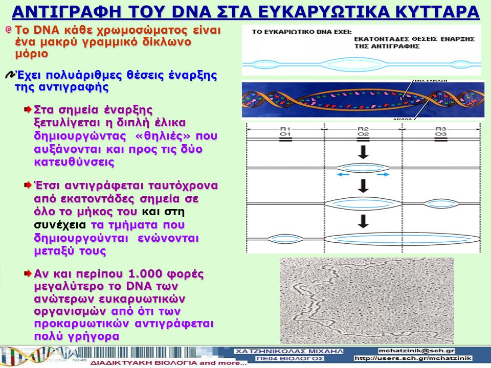ΑΝΤΙΓΡΑΦΗ ΤΟΥ DNA ΣΤΑ ΕΥΚΑΡΥΩΤΙΚΑ ΚΥΤΤΑΡΑ