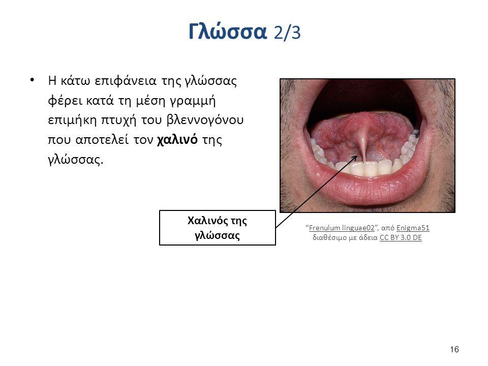 Genioglossus , από Uwe Gille διαθέσιμο ως κοινό κτήμα
