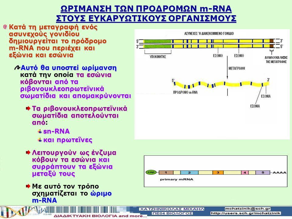 ΩΡIΜΑΝΣΗ ΤΩΝ ΠΡΟΔΡΟΜΩΝ m-RNA ΣΤΟΥΣ ΕΥΚΑΡΥΩΤΙΚΟΥΣ ΟΡΓΑΝΙΣΜΟΥΣ