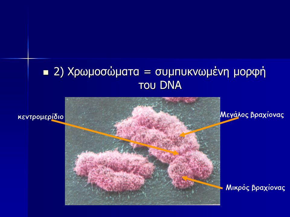 2) Χρωμοσώματα = συμπυκνωμένη μορφή του DNA